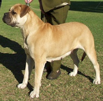Aust. CH Bullmaster Takenby Storm - Owned by Bullmaster Kennels