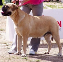 Aust. CH Nightpower Xtra Special - Owned by Bullmaster Kennels